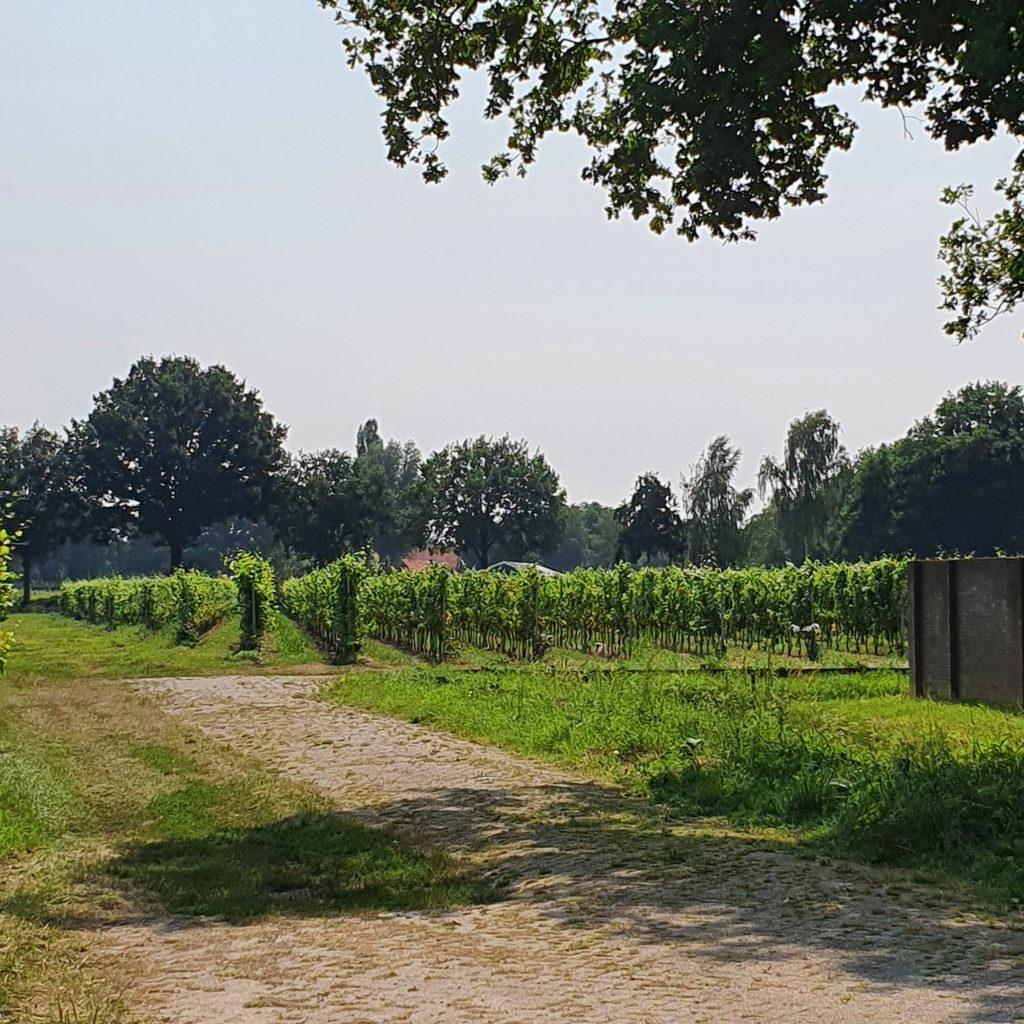 Sint Catharinadal wijngaard